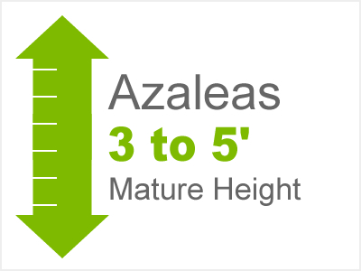 Azaleas 3-5' Mature Height