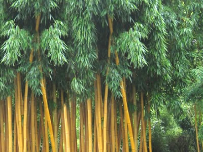 Bamboo Grasses