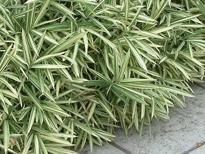 Bamboo Groundcover Plants