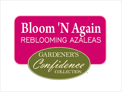 Bloom 'N Again Azalea Collection