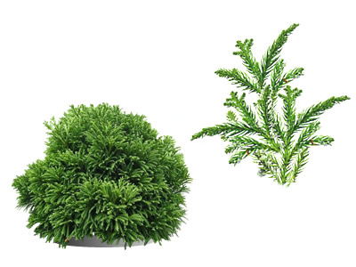 Japanese Cedar Shrubs (Cryptomeria)