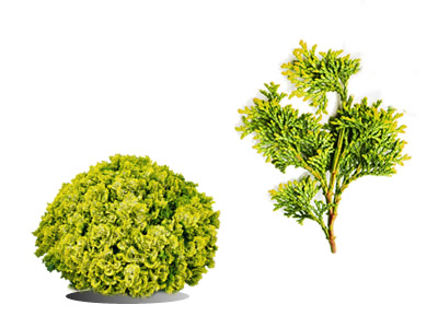 Cypress Shrubs & Bushes