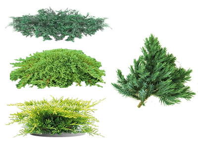 Juniper Groundcover Plants