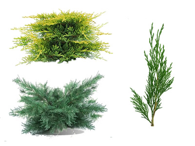 Juniper Shrubs & Bushes