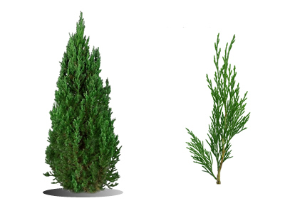 Buy Coniferous Evergreen Plants Amp Trees For Sale Online
