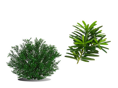 Buddhist Pine - Shrubs