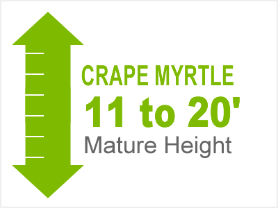 Crape Myrtle 10 to 20' Mature Height