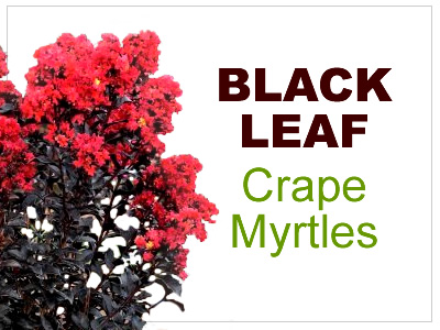 Black Leaf Crape Myrtles