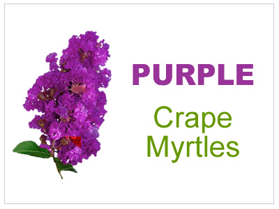 Purple & Lavender Crape Myrtles