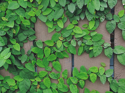 Creeping Fig - Ficus pumila