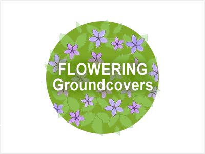 Flowering Groundcovers