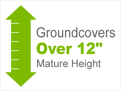 12 Inch Or Taller Groundcovers