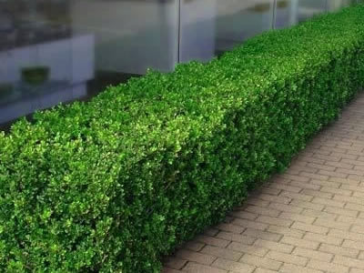 Boxwoods For Hedges