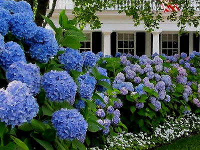 Hydrangeas For Hedges