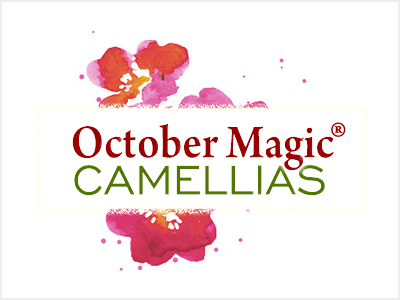October Magic Camellias