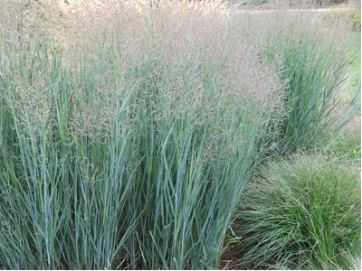 Switch Grasses - Panicum