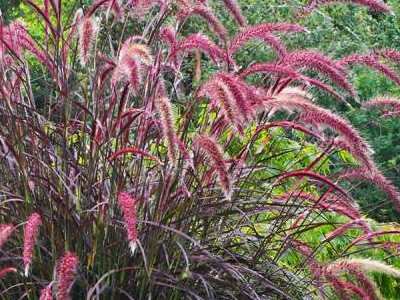 Fountain Grasses - Pennisetum