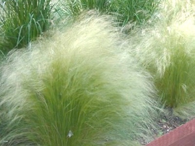 Pony Tails Grass - Stipa