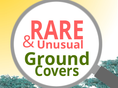 Rare Groundcovers