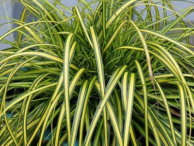 Sedge Grasses - Acorus / Carex