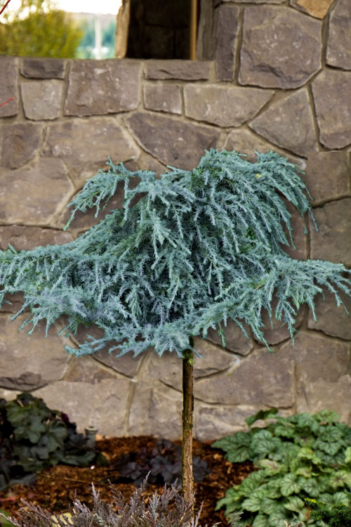 Buy Feelin Blue Weeping Deodar Cedar Tree Free Shipping Topiary