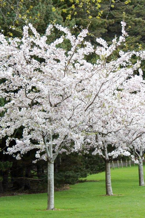 Buy Yoshino White Flowering Flowering Cherry Free Shipping Trees For Sale From Wilson Bros Gardens Online
