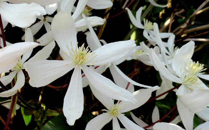 buy snowdrift evergreen clematis armandii best prices wilson bros gardens high quality. Black Bedroom Furniture Sets. Home Design Ideas