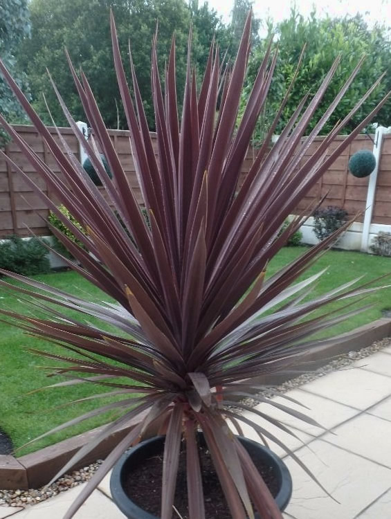 Red Star Coryline Also Known As Cabbage Palm And Dracena Spike Is A Moderate Growing Gr Like Plant That Features Attractive Burgundy Sword