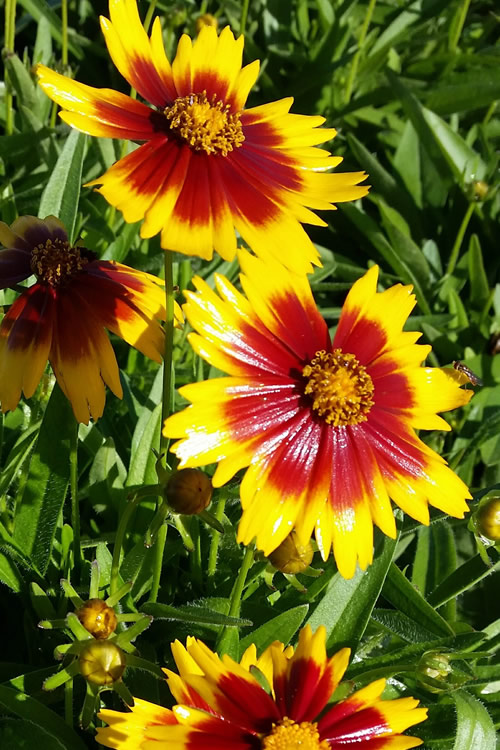 Buy Coreopsis Uptick Red And Yellow For Sale Online From