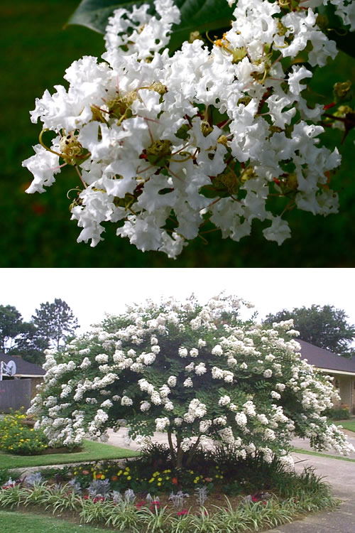 Buy acoma crape myrtle best prices wilson bros gardens large acoma weeping crape myrtle mightylinksfo