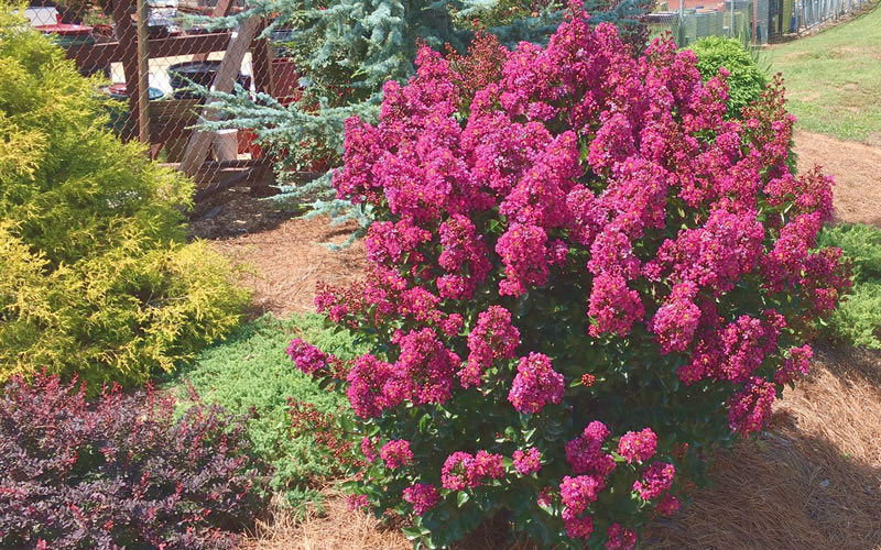 The Most Cold Tolerant Hardy e Myrtle Trees, Shrubs & Bushes ... Zone Garden Designs X Html on