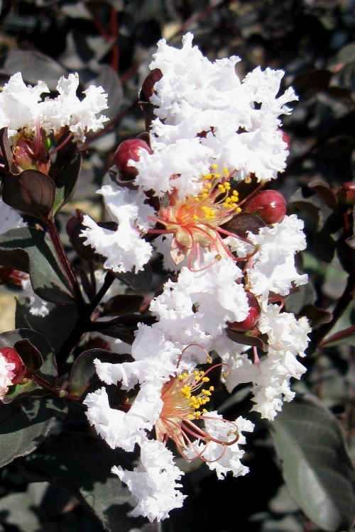 Black Diamond Pure White Crape Myrtle - 3 Gallon Pot