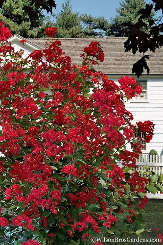 Colorama Scarlet Crape Myrtle - 3 Gallon Pot