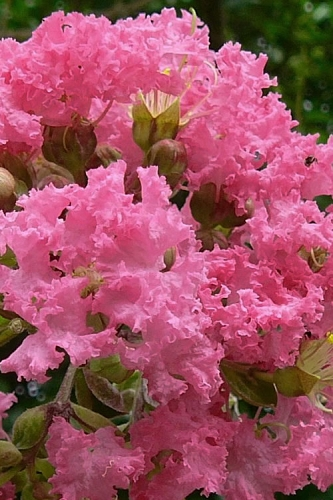 Coral Magic Crape Myrtle - 3 Gallon Pot