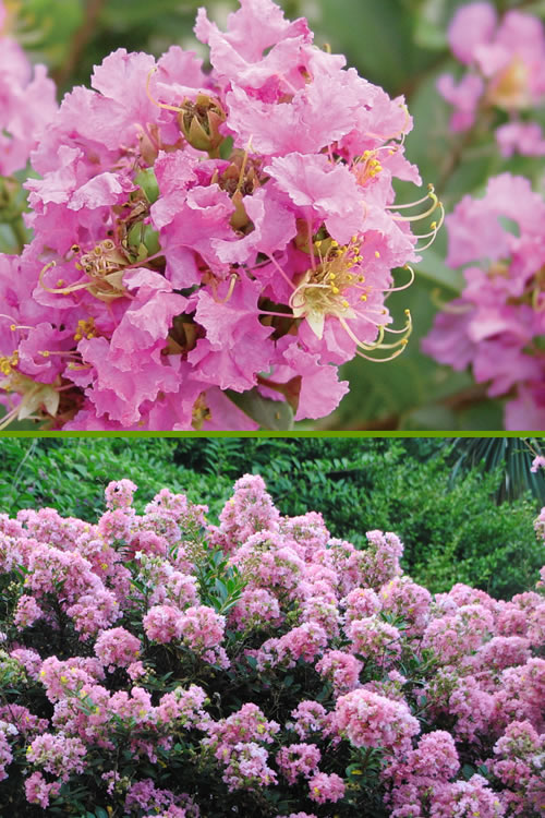 Buy Dazzle Me Pink Dwarf Crape Myrtle For Sale Online From