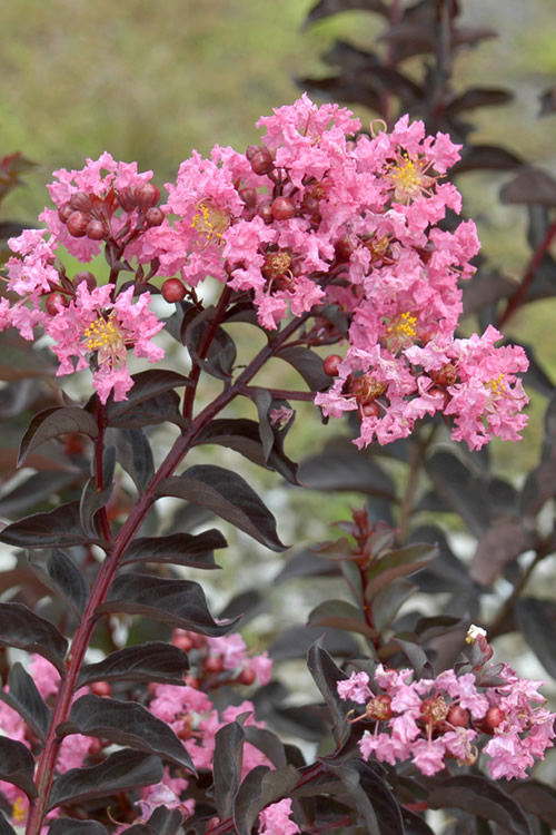 Delta Jazz Crape Myrtle - 2 Gallon Pot