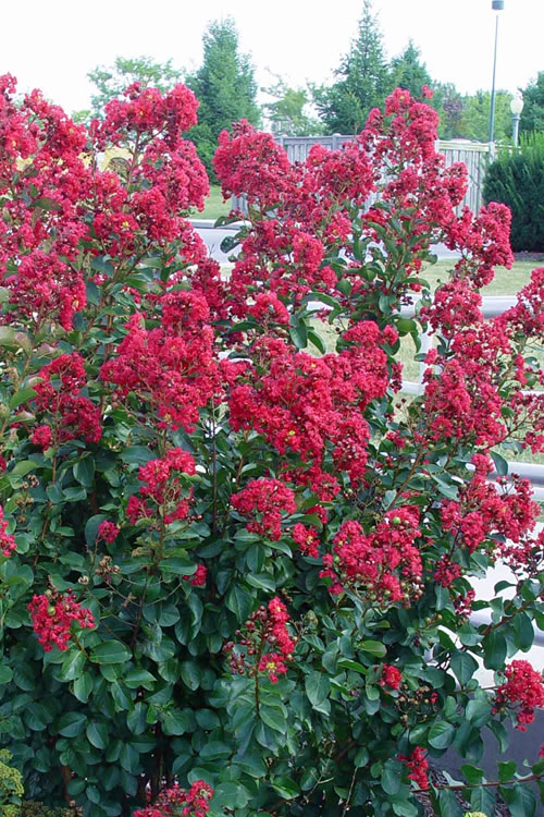 Double Feature Red Crape Myrtle