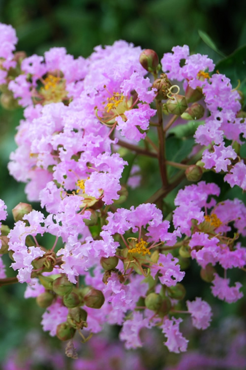 Buy Muskogee Lavender Crape Myrtle For Sale Online From