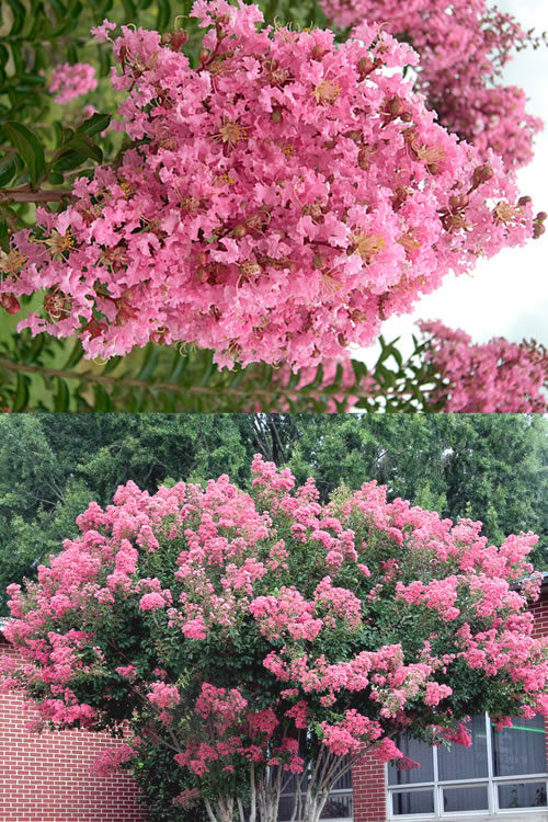 Buy sioux pink crape myrtle for sale online from wilson bros gardens sioux crape myrtle is a year round color factory producing large clusters of bright pink flowers uo to 16 inches long for up to 120 days during summer mightylinksfo
