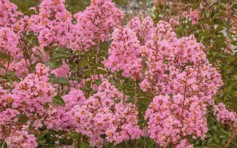 Buy sioux pink crape myrtle for sale online from wilson bros gardens sioux crape myrtle is a year round color factory producing large clusters of bright pink flowers uo to 16 inches long for up to 120 days during summer mightylinksfo Image collections