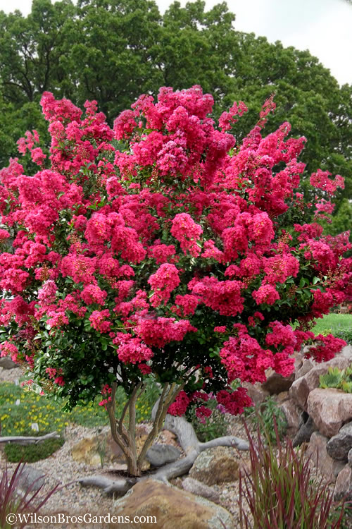 Buy Tonto Red Crape Myrtle Free Shipping 3 Gallon Potted Trees For Sale Online From Wilson Bros Gardens