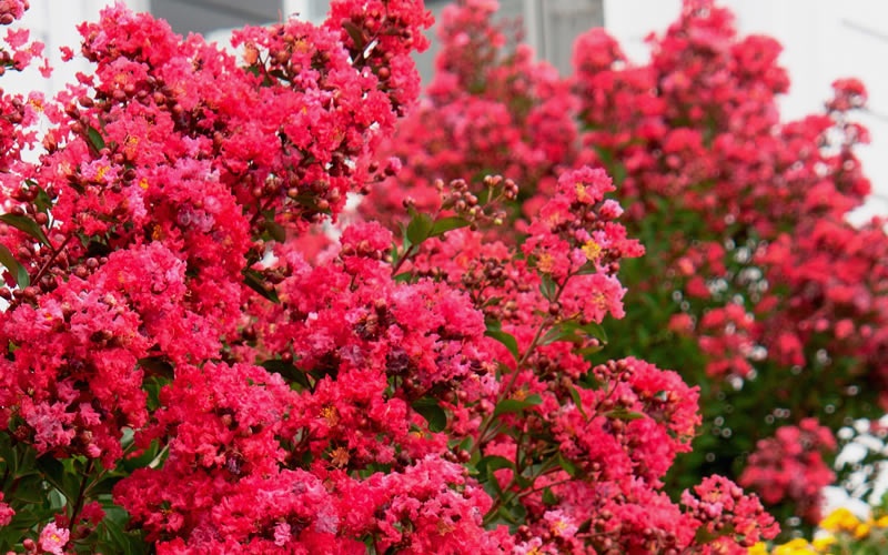 Buy Victor Red Dwarf Crape Myrtle Free Shipping 3
