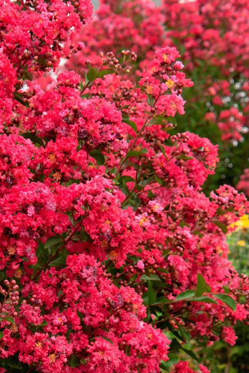 Victor Red Dwarf Crape Myrtle - 3 Gallon Pot
