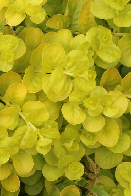 Golden Creeping Jenny - Lysimachia nummularia Aurea - 18 Count Flat of Pint Pots