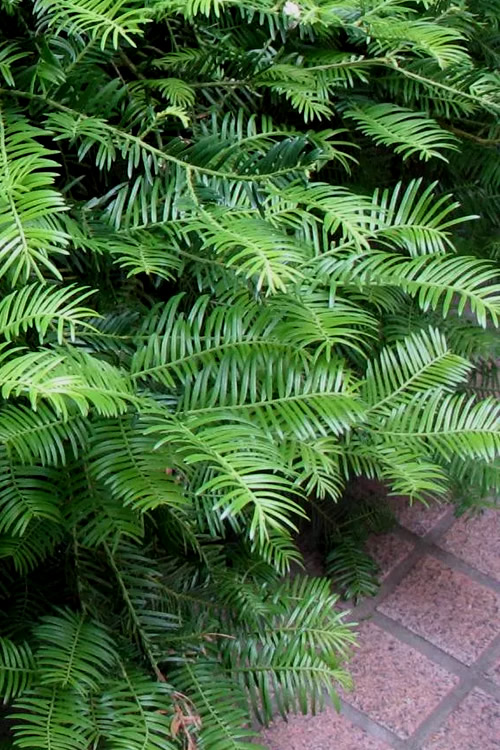 Cephalotaxus Prostrata Hedge