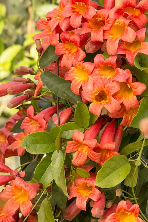 Buy Tangerine Beauty Crossvine Bignonia For Sale Online