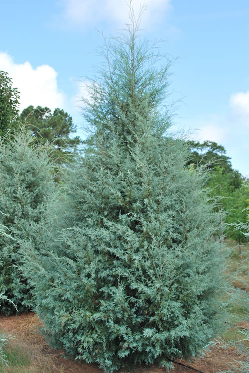 Live Christmas Trees For Sale Online