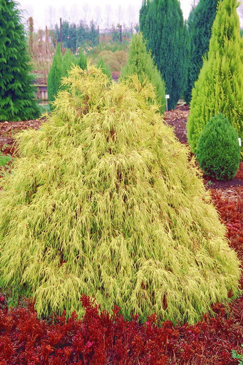 Gold Mop Threadleaf Cypress