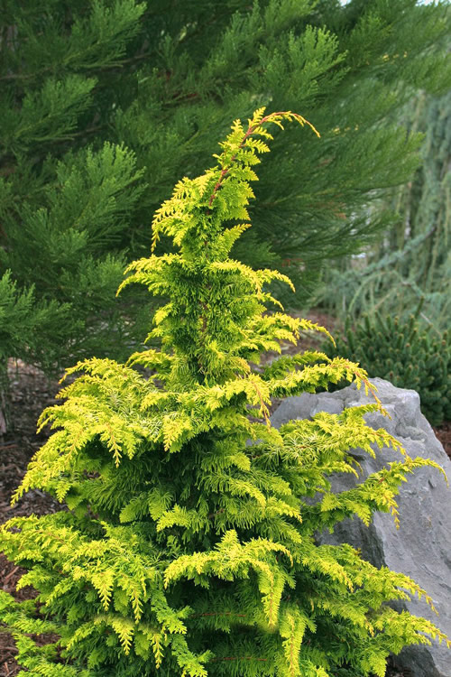 Gold Tip Fernspray Hinoki Cypress - 1 Gallon Pot