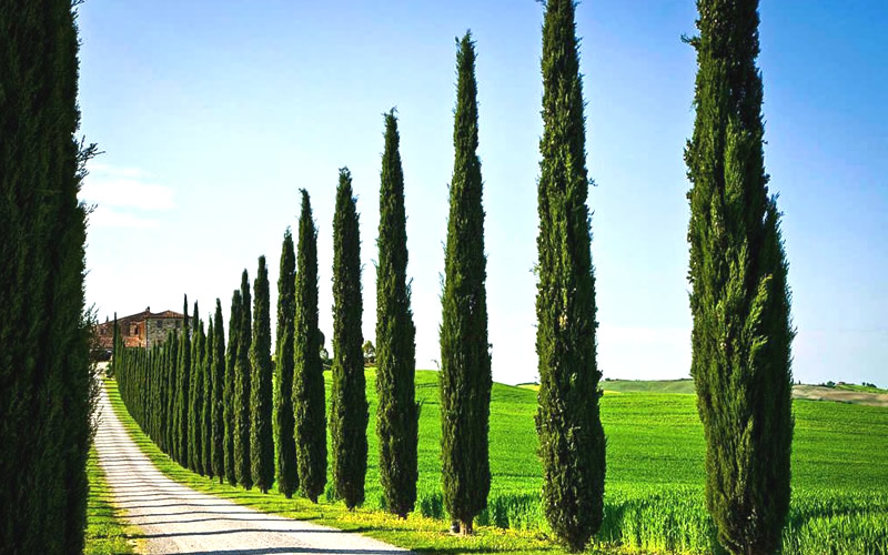 buy italian cypress for sale online from wilson bros gardens